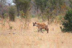 Hyène repérée images stock