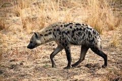 Hyène repérée Image stock