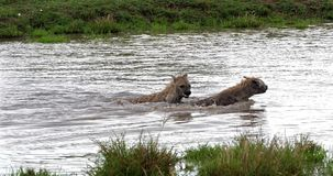 Hyène repérée, crocuta de crocuta, adultes jouant dans l'eau, masais Mara Park au Kenya, banque de vidéos