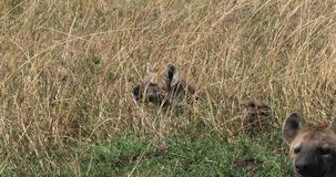 Hyène repérée, crocuta de crocuta, adultes se tenant dans la longue herbe, masais Mara Park au Kenya, banque de vidéos