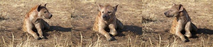 Hyène repérée (crocuta de Crocuta) Images libres de droits