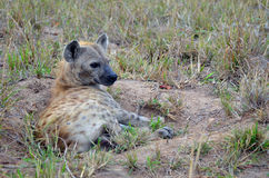 Hyène repérée (crocuta de Crocuta) photo stock