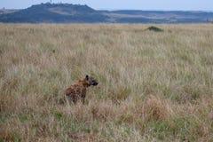 Hyène repérée, Kenya, Afrique photo stock