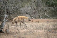Hyène repérée marchant dans le buisson photos stock