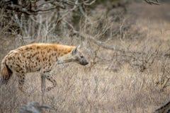 Hyène repérée marchant dans le buisson image stock