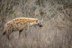 Hyène repérée marchant dans le buisson photo libre de droits