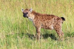 Hyène repérée par jeunes au masai Mara Photos libres de droits
