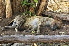 Hyène repérée, parc national de Kruger photos stock