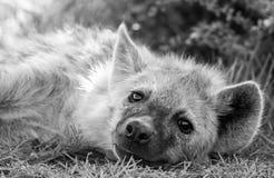 Hyène repérée somnolente image libre de droits