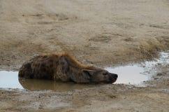 Hyène s'étendant dans un magma photos stock