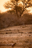 Hyène se situant dans la savane pendant le coucher du soleil, parc de Kruger, Afrique du Sud photo libre de droits