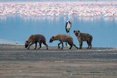 Hyène trois triste marchant sur le rivage de lac après une chasse infructueuse photographie stock