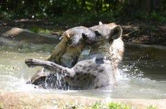 Hyène waterplay Photo stock