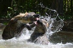 Hyène waterplay2 Photographie stock