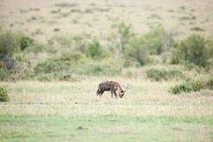 hyènes Images stock