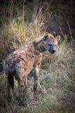 hyènes Image stock