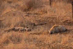 hyènes Photos libres de droits
