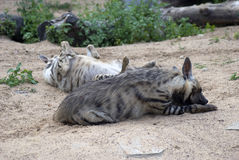 hyènes Photographie stock libre de droits