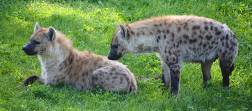 hyènes Images libres de droits
