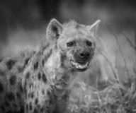 Hyènes Afrique du Sud photos stock