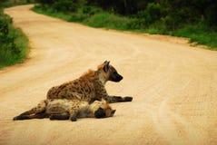 Hyènes dans la route Photos stock