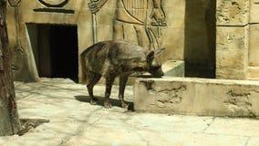 Hyènes dans le zoo photographie stock libre de droits
