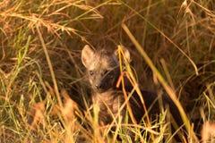 Hyènes de bébé, masais Mara image libre de droits