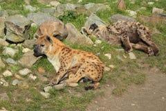 Hyènes repérées Photographie stock libre de droits