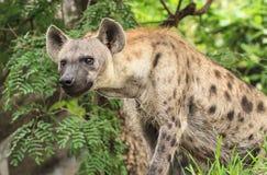 Hyènes repérées Photo libre de droits
