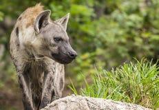 Hyènes repérées Photographie stock