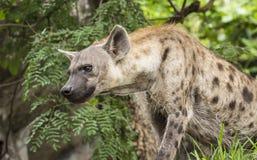 Hyènes repérées Photos libres de droits