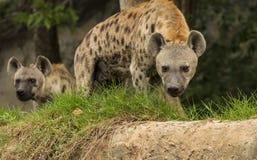 Hyènes repérées Photos stock