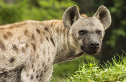 Hyènes repérées Image libre de droits