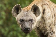 Hyènes repérées Image stock
