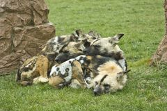 Hyènes repérées confortables Photographie stock libre de droits
