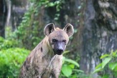 Hyènes repérées - l'hyène repérée peut tuer l'autant de comme 95% des animaux qu'ils mangent images libres de droits