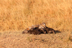 Hyènes repérées, masais Mara photographie stock libre de droits