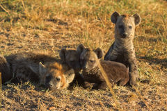 Hyènes repérées, masais Mara photo libre de droits