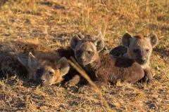 Hyènes repérées, masais Mara photo stock