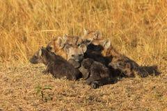 Hyènes repérées, masais Mara image libre de droits