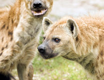Hyènes repérées sauvages Images libres de droits