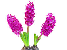 hyacint över white royaltyfria bilder