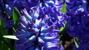Hyacint lager videofilmer