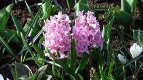 Hyacint stock video