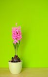 hyacint Royaltyfria Foton