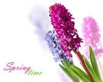 hyacint Royaltyfri Fotografi