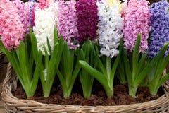 Hyacint Royalty-vrije Stock Afbeelding