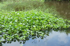 Hyacint Stock Afbeeldingen