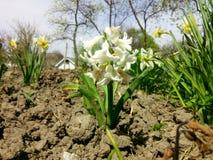 Hyacint fotografering för bildbyråer