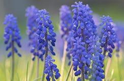 Hyacint Royaltyfri Bild